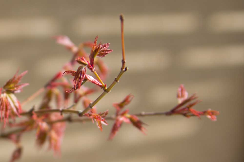 budding-japanese-maple